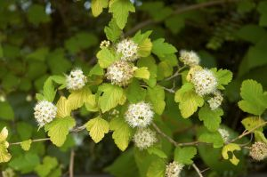 COMMON NINEBARK