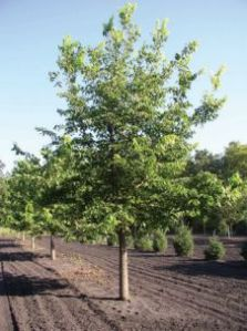 'PRAIRIE HARVEST' HACKBERRY