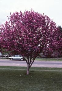 'PROFUSION' CRABAPPLE
