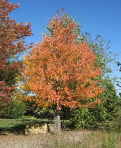 'SIENNA GLEN' MAPLE