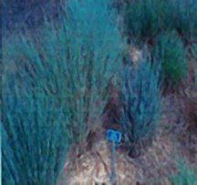 Bluestem, Little 'Badlands' Ecotype