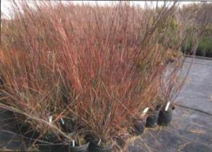 Bluestem, Little 'Blue Heaven'