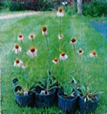 Coneflower, Narrowleaf