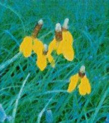 Coneflower, Prairie 'Upright Yellow'