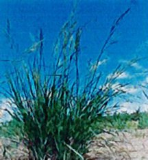 Cordgrass, Prairie 'Red River'