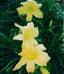 Daylily 'Yellow'