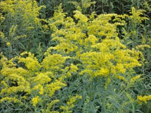 GOLDENROD 'BABY GOLD'