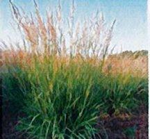 Indiangrass, 'Tomahawk'