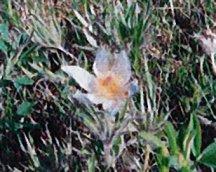 Pasqueflower, Native