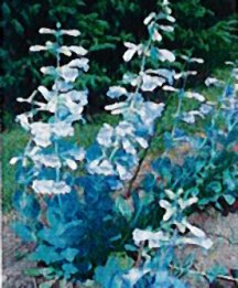 Penstemon, Shell Leaf