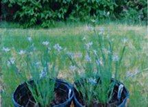 Prarie Blue-eyed Grass
