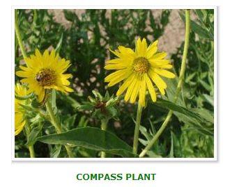 Compass_Plant